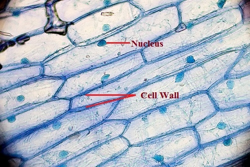 What are the Functions of the Cell Wall 5 roles