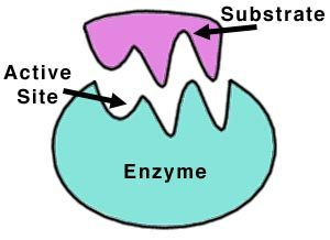 Examples of enzymes