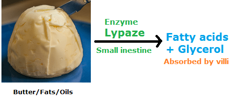 Examples of Enzymes lipase