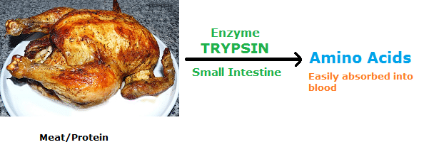 Examples of Enzymes trypsin to digest protein