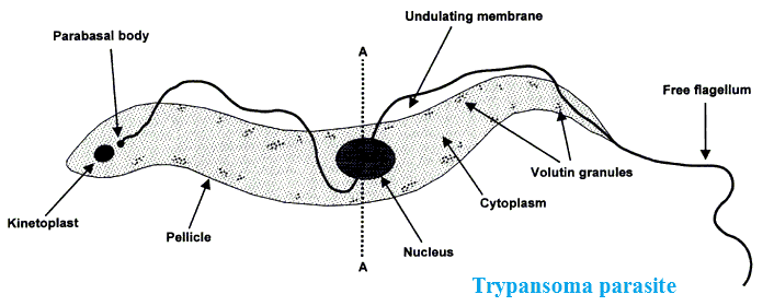 10 Examples Of Protozoa Their Characters With Diagrams