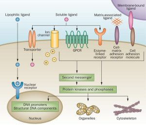 Types of Receptors| Their Role and Functions in the Body